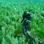 diving with sea horses at the Buccament Bay resort