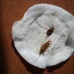 2 von den etwa 30 Kakerlaken die wir hatten