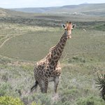 Giraffe on the game drive