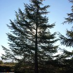 Morning sun through large pine tree in front