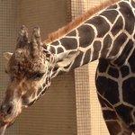 Jirafa en Chongqing Zoo By Leo
