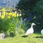 visiting ducks and the dafodils in spring