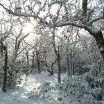 the dwarf white oaks in February
