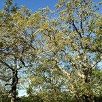 the dwarf white oaks