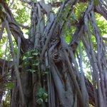 Banyan on the grounds