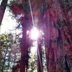 Redwoods That Filter the Sun