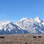 Three Bull Moose