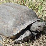 Gopher Tortoise opposite the cottages