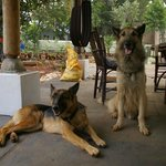 Friendly dogs: Silver (left) & Tipu (right)