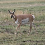 Young pronghorn antelope