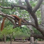 Lemur lazing in one of the hotels trees