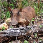 Female warthog with whiskers that´s supposed too lool like the males tusks.