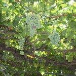 Виноградник на террасе