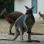 Skippy le kangourou est de retour.