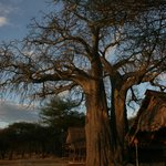 tents and baobab tree