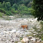 Tiger spotted by a guest in Sitabani