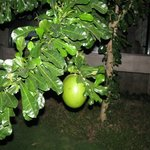 Higuero o tapara, planta que da nombre al restaurante