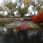 Brown trout on the Bighorn River
