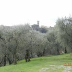 Olive trees and Tower in Montecarlo