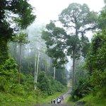Danum Valley - alberi maestosi