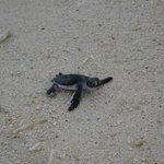 Lankayan Island - le tartarughe verso il mare