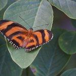 Ariela's butterfly (Dryadula phaetusa)