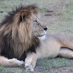 king of beasts on game drive