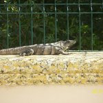 An Iguana up on our fence