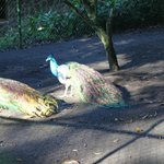 Peacocks at the property
