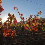 Autumn vines in late afternoon sunlight