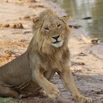 Lion at the river Linyanti