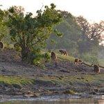 Monkeys at the river Linyanti