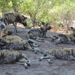 Wild dogs at our camp