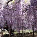 樹齢450年の藤の名木