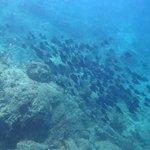 School of Blue Tang on Norman Island Snorkel