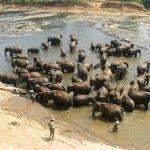à Pinnawela l'orphelinat des éléphants, magnifique