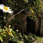 Rosa antica Castello di Bagnolo