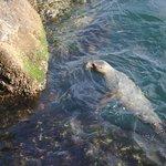 Harbor seal near break wall
