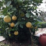 Lemon Tree on the Deck overlooking Cane River