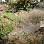 Große Leguane trifft man überall im Hotelgelände