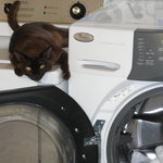 """""""Archie"""" the Archway cat- keeps an eye on the laundry"""