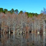 Cypress Trees in the Millpond