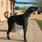 Luna - The Great Dane. Big part of the Isabel family:-)