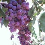Uvas Grapes