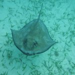 Another stingray