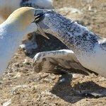 Gannet Safari