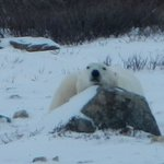 Polar Bear resting on the rock right in front of the living room.