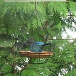 The birds! (Stellar Jay)