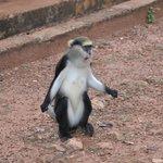 Mona monkey
