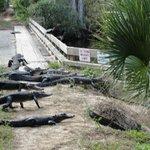 gators on bridge